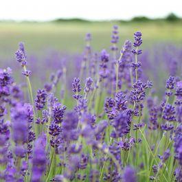 Smalbladet Lavendel (Lavandula angustifolia 'Munstead') 8-pak