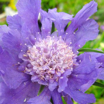 Skabiose (Scabiosa caucasica Perfecta Blue) 8-pak
