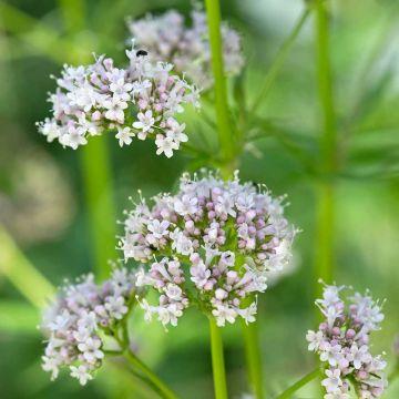 Lægebaldrian (Valeriana officinalis)