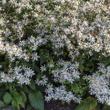 Hvid asters (Aster Divaricatus bio)
