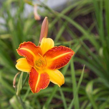 Daglilje (Hemerocallis 'Frans Hals' bio)