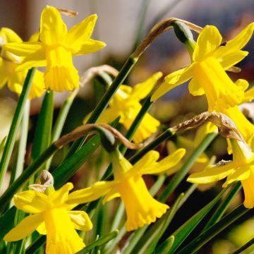 Påsklilja (Narcissus Tête-a-Tête) 10-pack