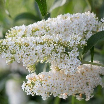 Sommerfuglebusk (Buddleja dav. 'Darts Ornamental White')