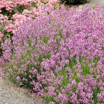 Rosa lavendel (Lavandula angustifolia 'Rosea') 8-pak