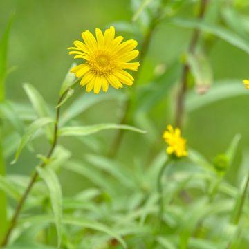 Pilebladet tusindstråle (Buphthalmum Salicifolium bio)