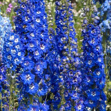 Riddarsporre (Delphinium 'Blue Bird')