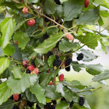 Dværgmorbær (Morus r. 'Mojo Berry')