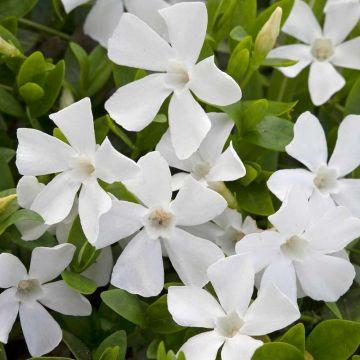 Vintergrøn Hvid (Vinca Minor Alba) 8-pak