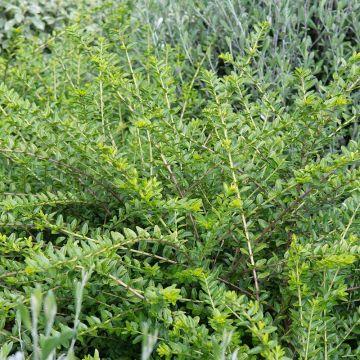 Myrtegedeblad (Lonicera nitida 'Maigrün') 8-pak