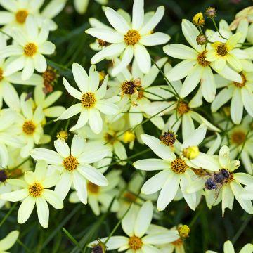 Skønhedsøje (Coreopsis vert. 'Moonbeam') 10 stk. pakke