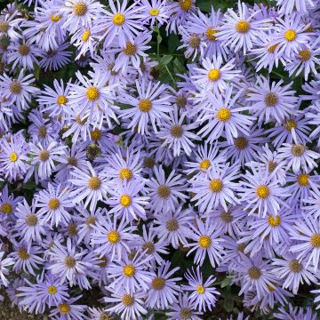 Asters 'Mönch' (Aster frikartii 'Mönch')