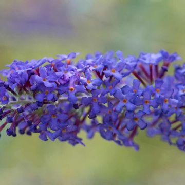 Fjärilsbuske (Buddleja) 'Blue Horizon'