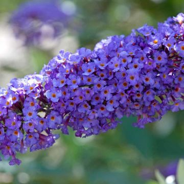Sommerfuglebusk (Buddleja davidii 'Nanho Blue')