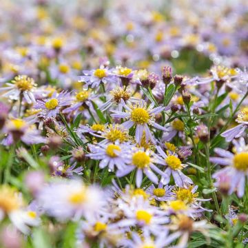 Asters (Aster ageratoides 'Asran' bio)
