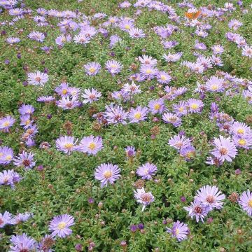 Asters (Aster 'Woods Purple' bio)