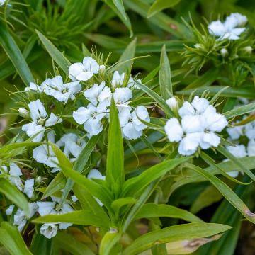 Studenternellike (Dianthus barbatus 'Barberini White' bio)