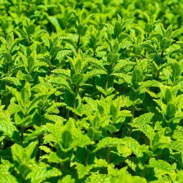 Marokkansk mynte (Mentha spicata 'Moroccan') bio