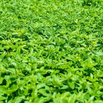 Oregano (Origanum vulgare bio)