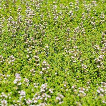 Havetimian (Thymus vulgaris 'Faustini' bio)