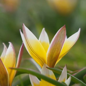 Flocktulpan (Tulipa Tarda) 25-pack