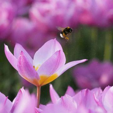 Økologisk Tulpan (Tulipa Bakeri 'Lilac Wonder') 15 stk