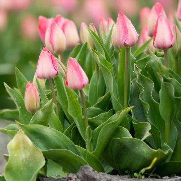 Tulipan 'Pink Impression' 10 stk