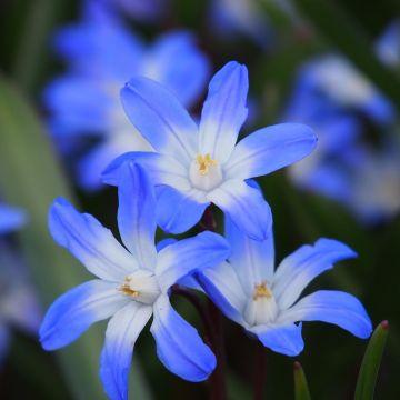 Snepryd 'Chionodoxa blue' 10 stk