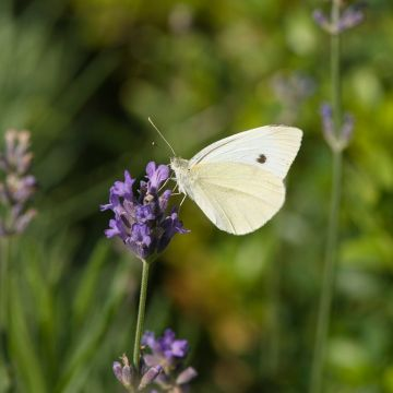 Lavendel (Lavandula Angustifolia Hidcote) 14 cm potter