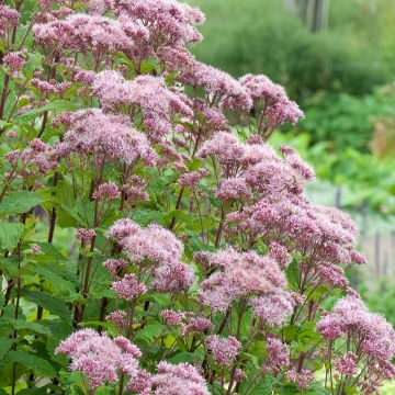 Hampflockel (Eupatorium cannabinum)