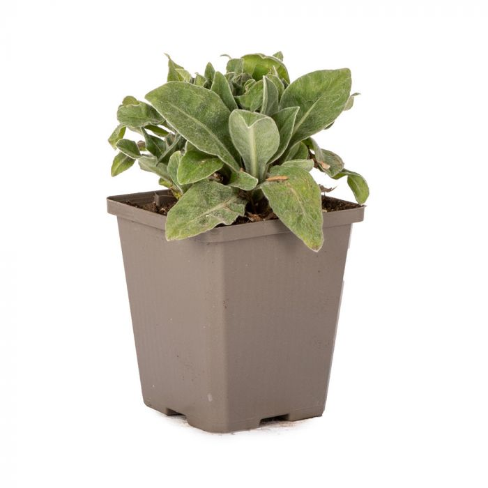 Bjergknopurt (Centaurea montana)