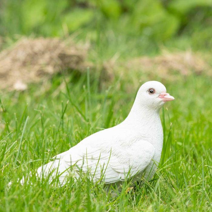 Hvid due