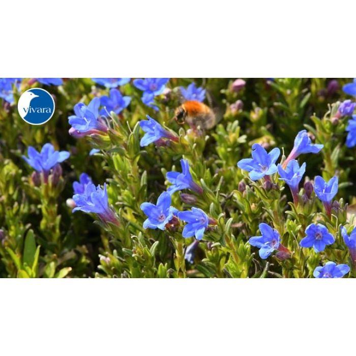 Stenfrø (Lithodora diffusa 'Heavenly Blue') 8-pak