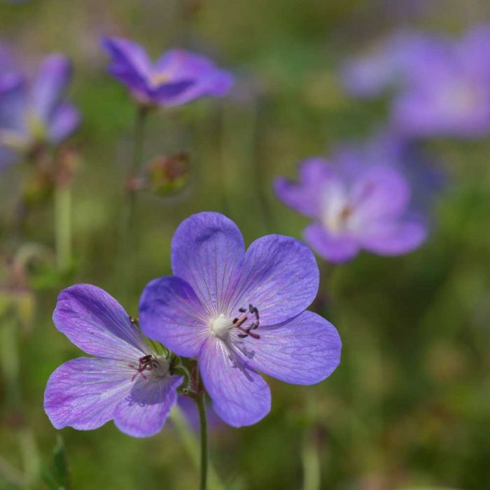 Praktnäva 'Johnson's Blue' (Geranium 'Johnson's Blue')