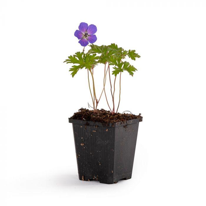 Storkenæb 'Johnsons Blue' (Geranium 'Johnsons Blue')