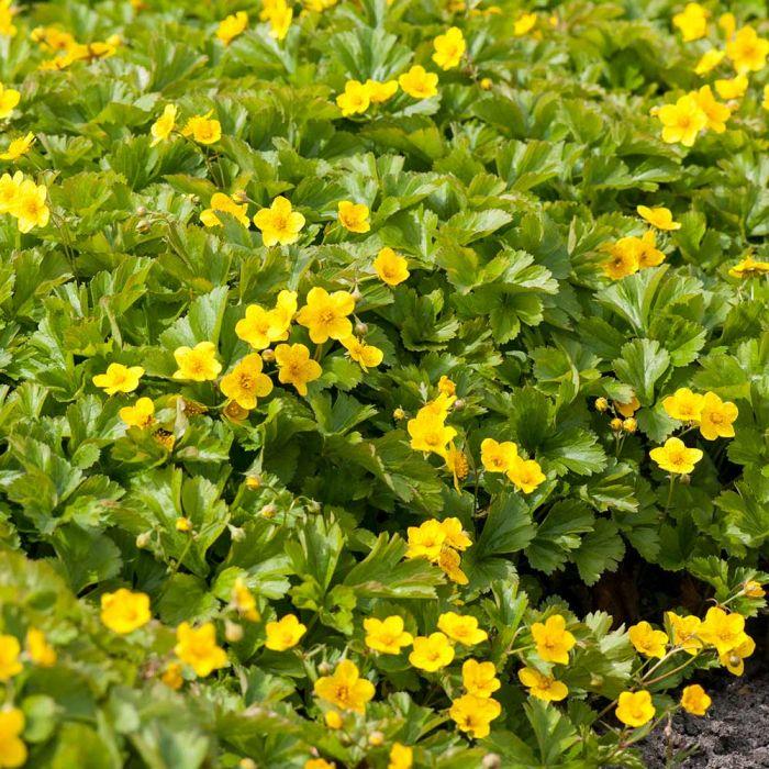 Waldsteinia (Waldsteinia ternata)