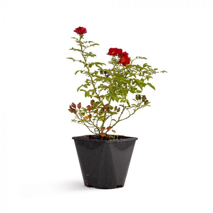 Bijenweelde® Rød Rose