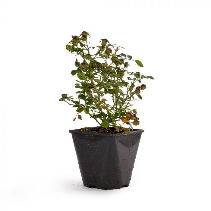 Bijenweelde® Abrikos Rose