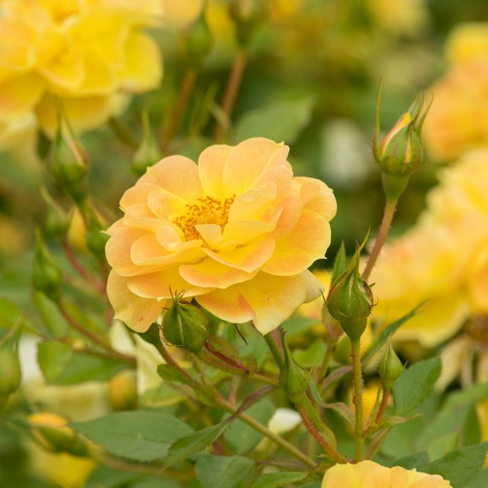 Bijenweelde® Gul Rose