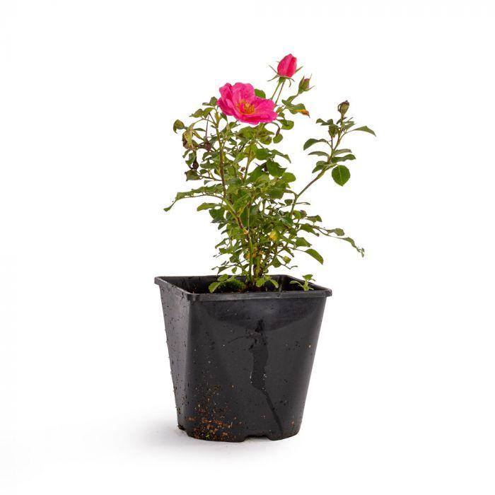 Bijenweelde® Rosa Rose