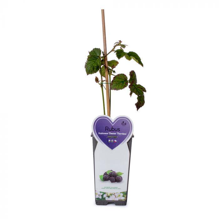 Brombær (Rubus fruticosus 'Chester Thornless')