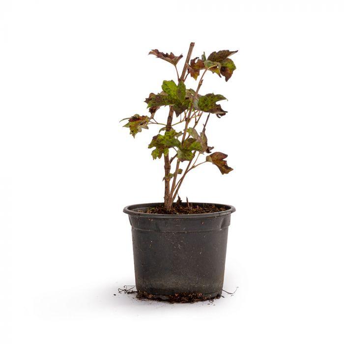 Snebolle (Viburnum opulus 'Roseum')