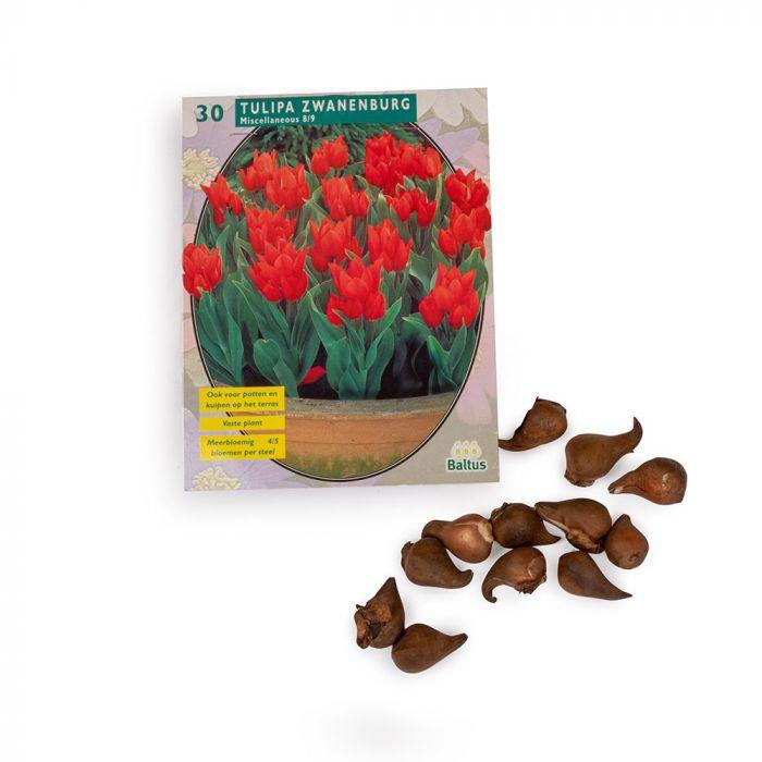 Tulipan Zwanenburg (Tulp 'Zwanenburg') 30 stk