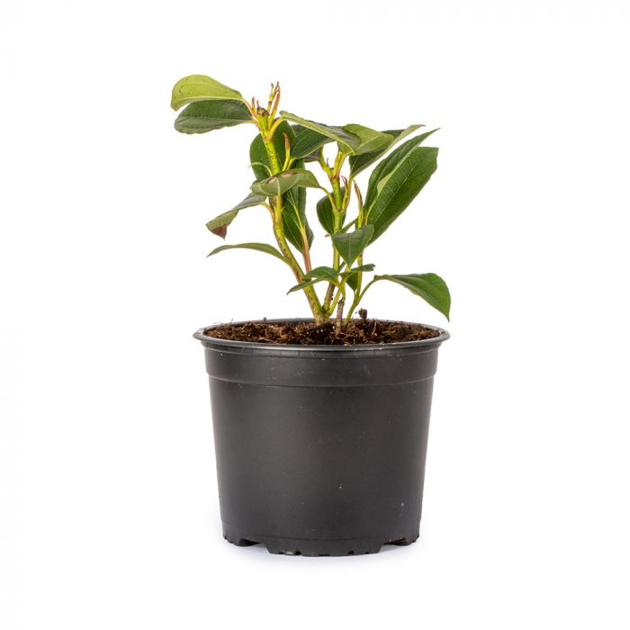 Dværgsnebolle (Viburnum Davidii)