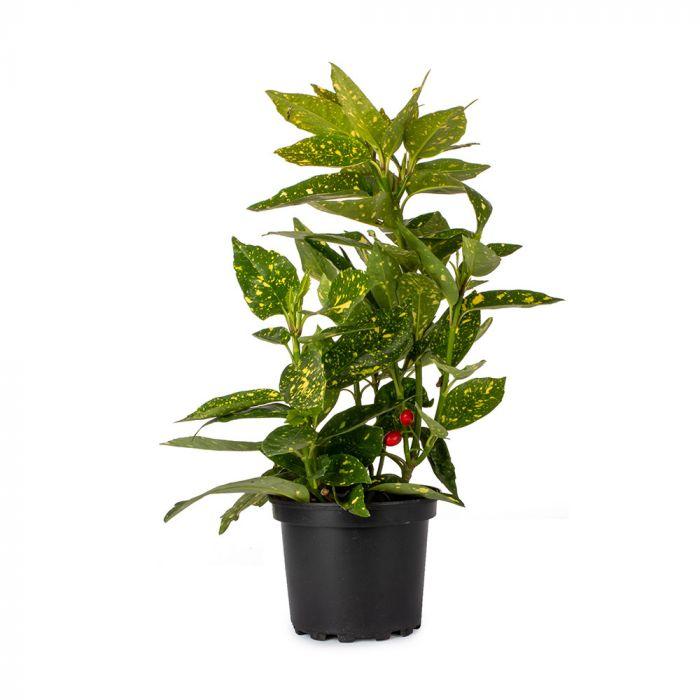 Haveaucuba (Aucuba japonica 'Variegata')