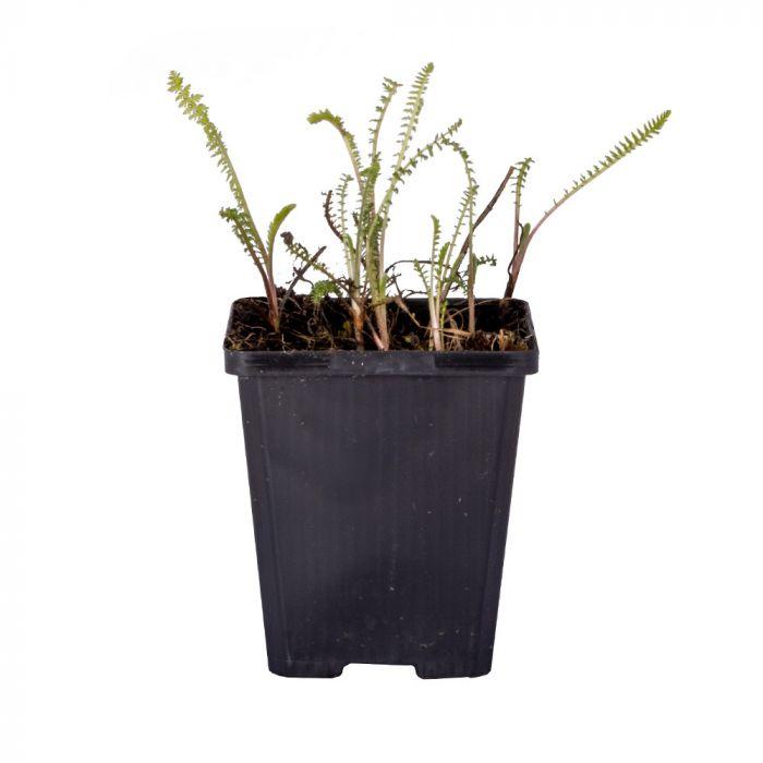 Almindelig røllike (Achillea millefolium 'Paprika') 8-pak