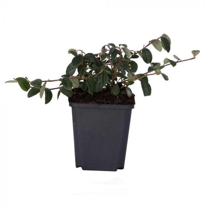 Dværgmispel (Cotoneaster dammeri) 8-pak