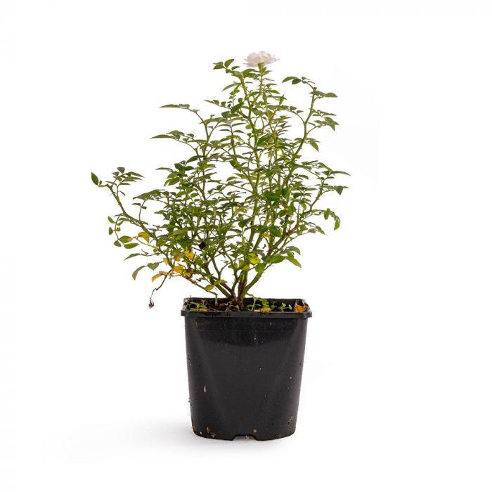Bijenweelde® Hvid Rose