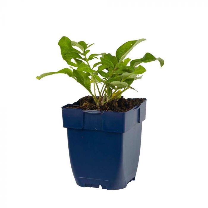 Knopurt (Centaurea Dealbata bio)