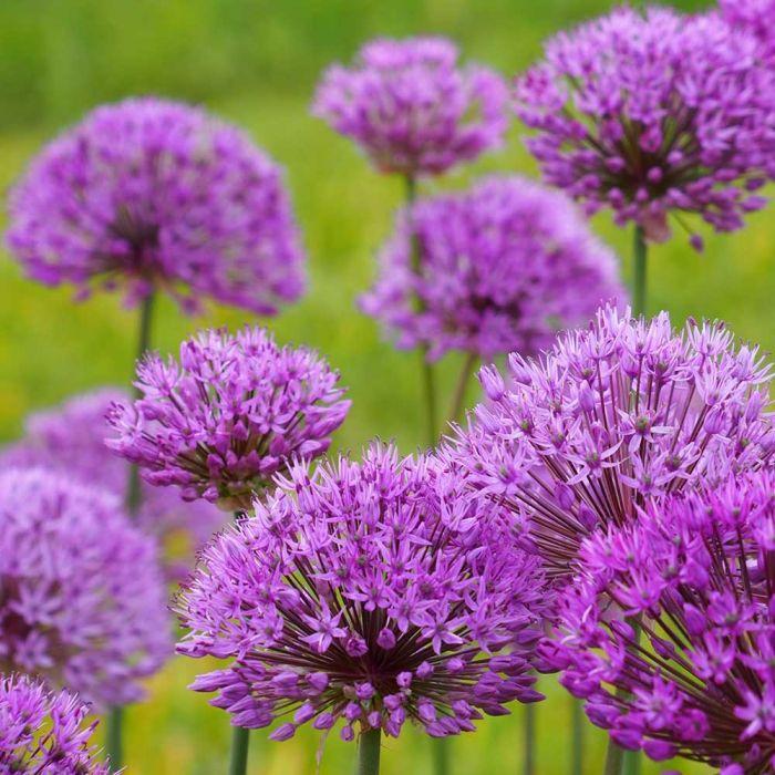Økologisk Prydløg (Allium 'Purple Sensation') 15 stk
