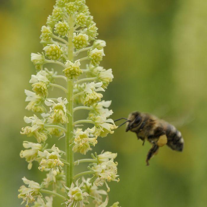 Blanding til solitærbier (22 sorter x 25g)